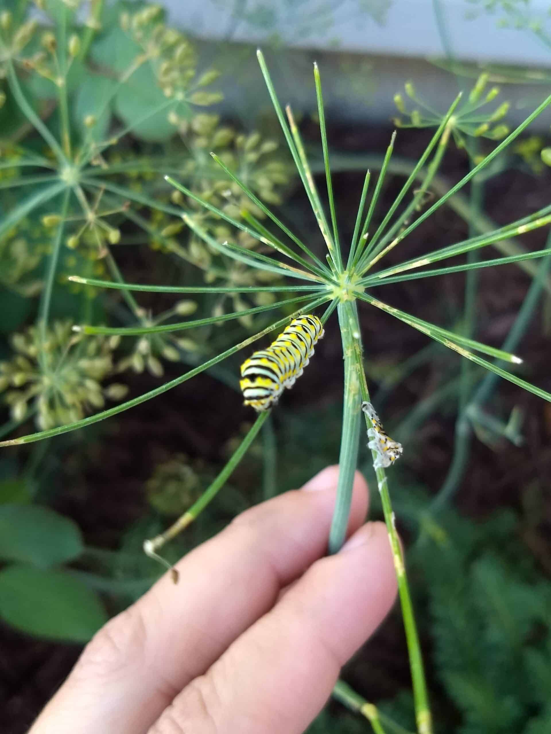 Black Swallowtail Butterfly on a Dill Plant Build a Homestead from Scratch Garden