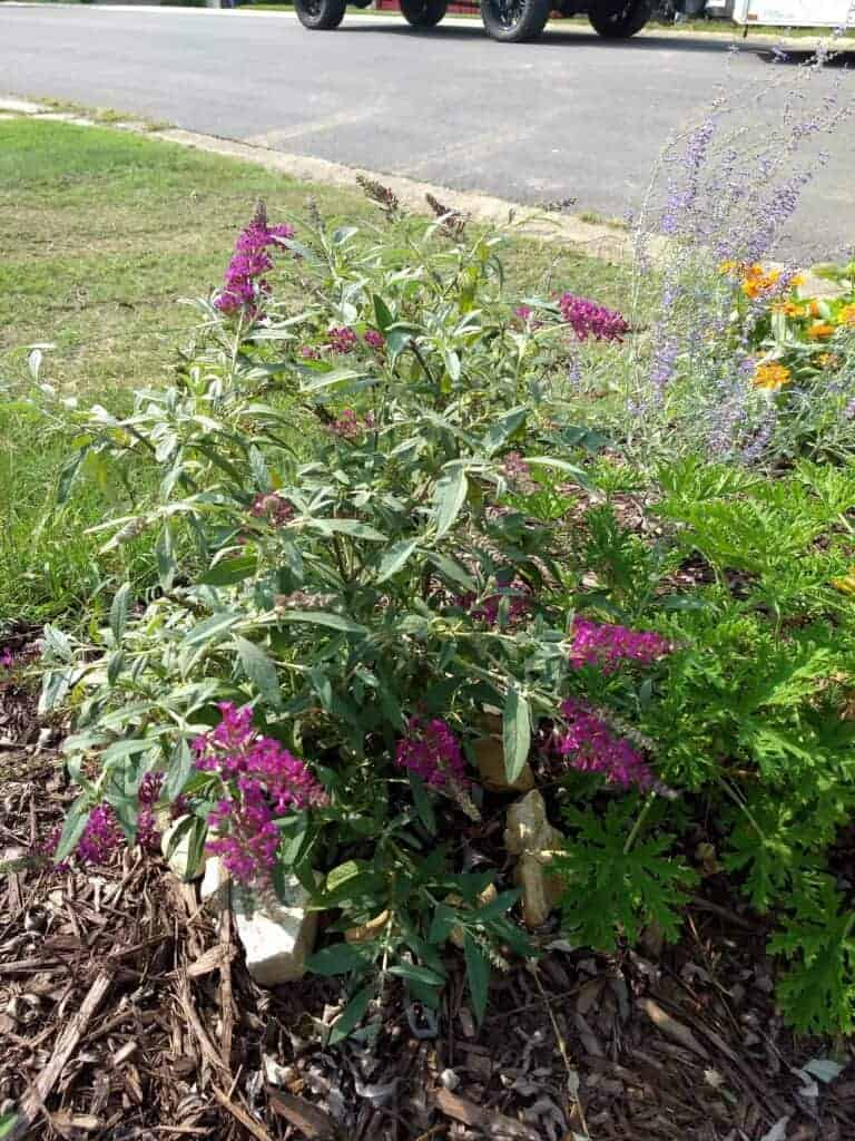Butterfly Bush with Purple Blooms in a pollinator homestead garden